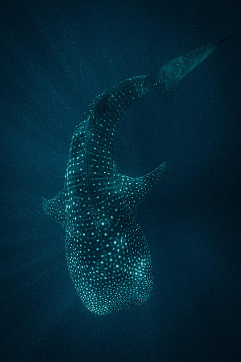 Whale Shark-1-2.jpg