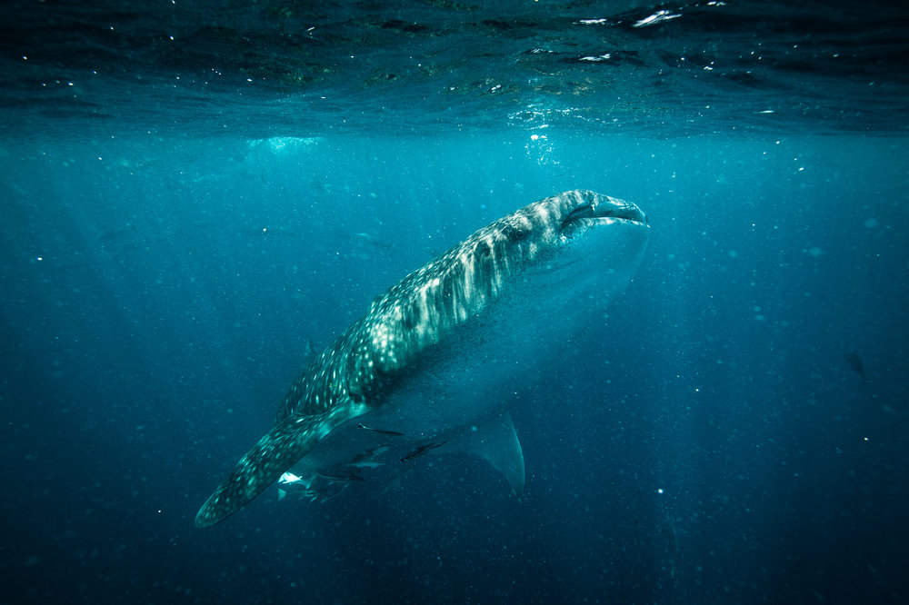 Whale Shark-3.jpg