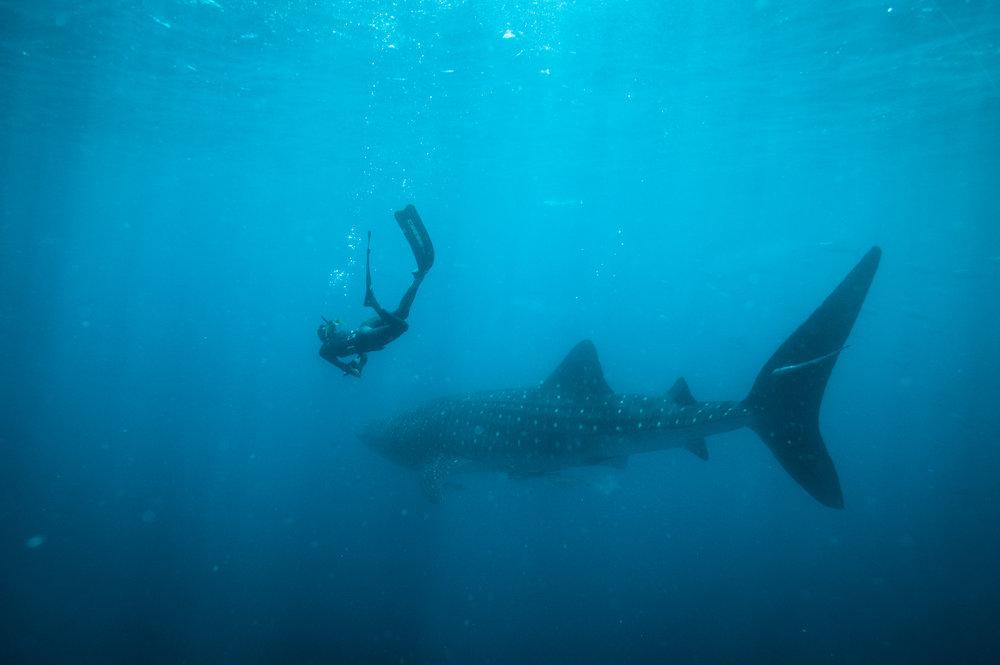 Whale Shark-1-6.jpg