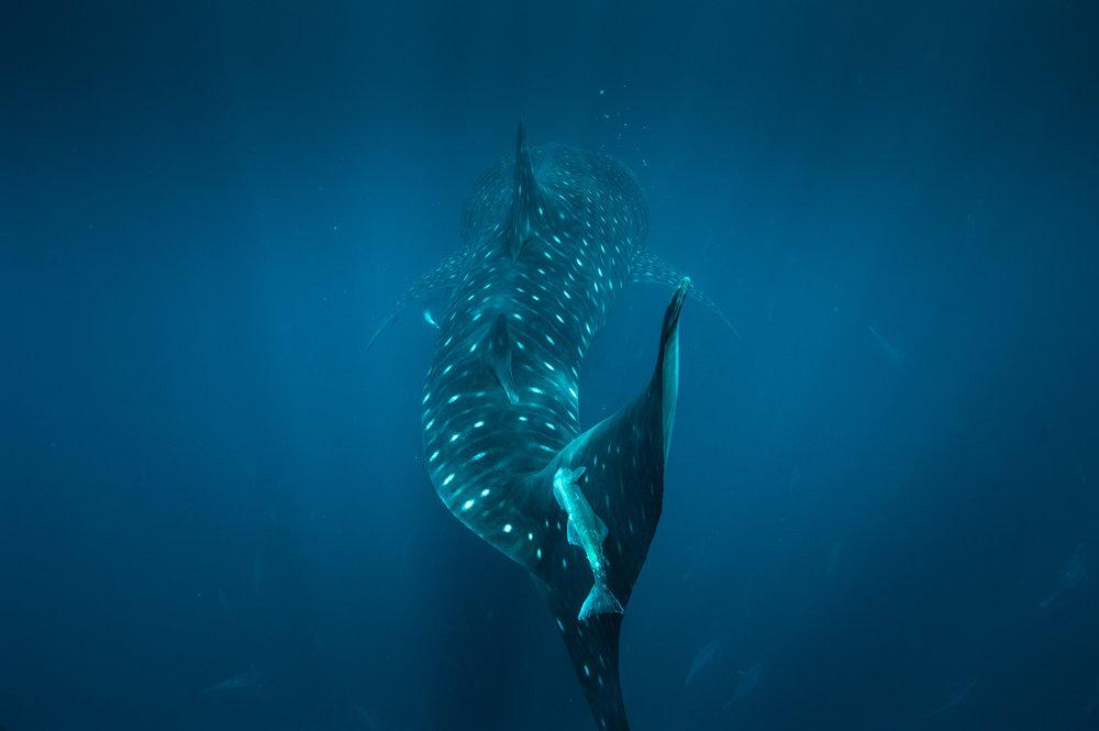Whale Shark-1-10.jpg