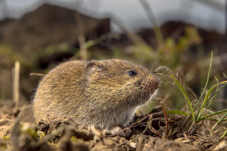 Vole Treatments