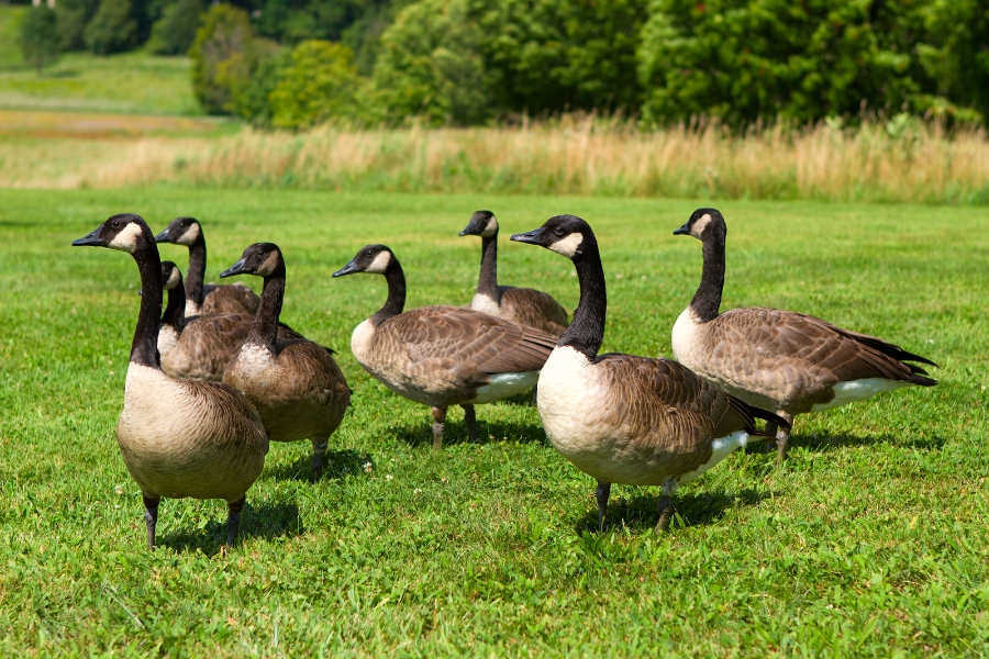 Goose Repellent