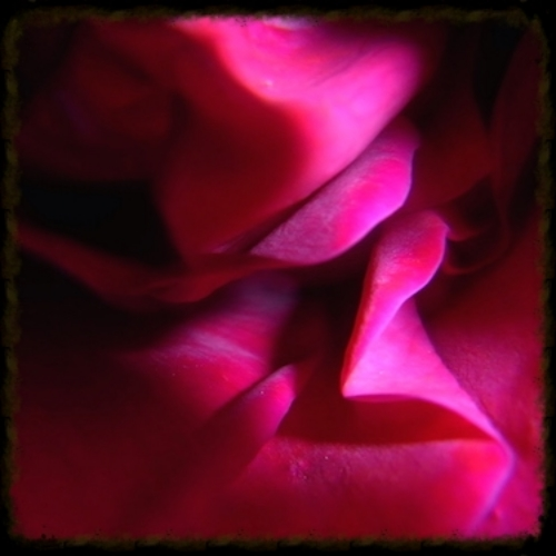 Inner Folds of a Rose - photograph by Pippa-la Doube. Melbourne, Spring 2012