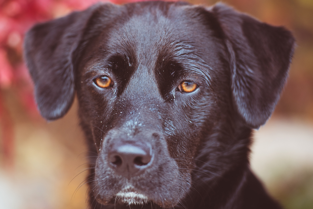 A Portrait of My Brown Eyed Black Lab