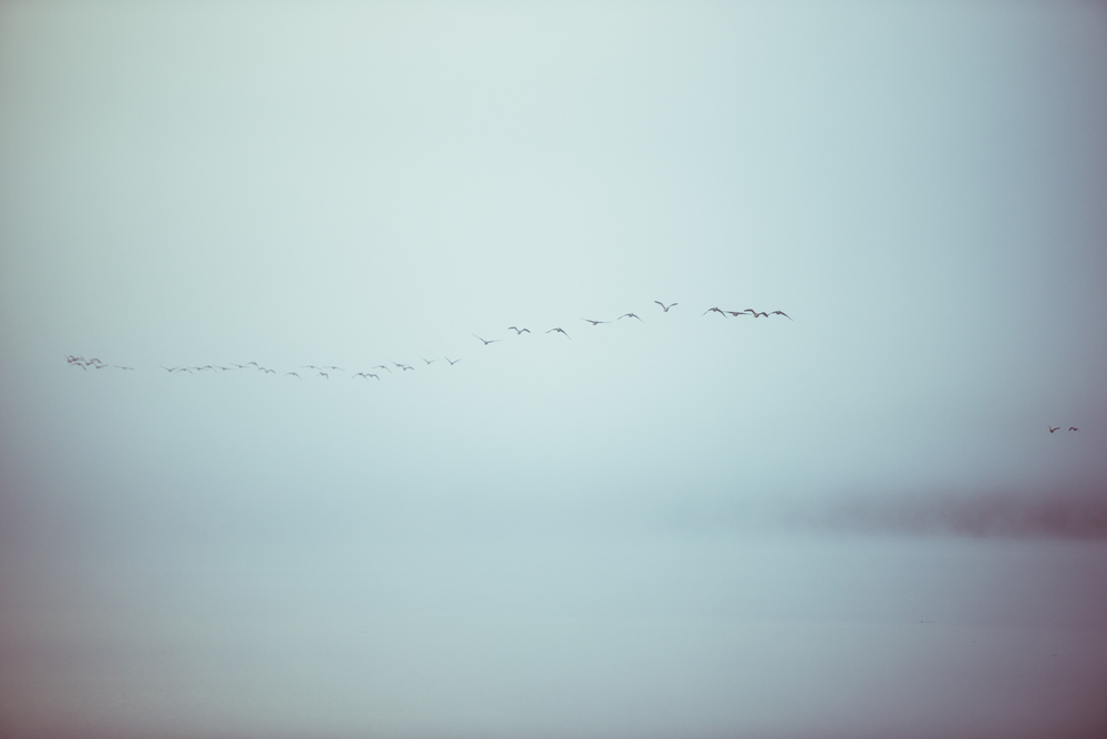 Geese Flying Out of The Fog