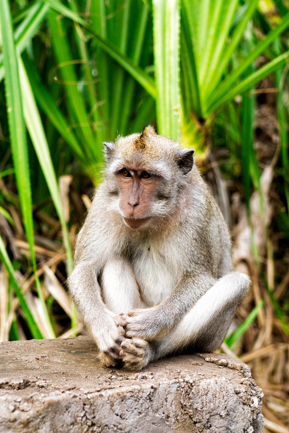 Pondering Monkey in Bali