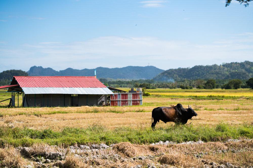 Langkawi farm life.
