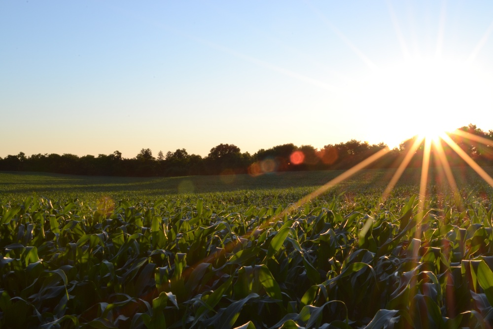 cornfield.jpeg