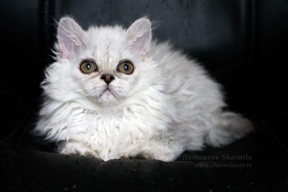 Our first Selkirk Rex, Feodora, as kitten