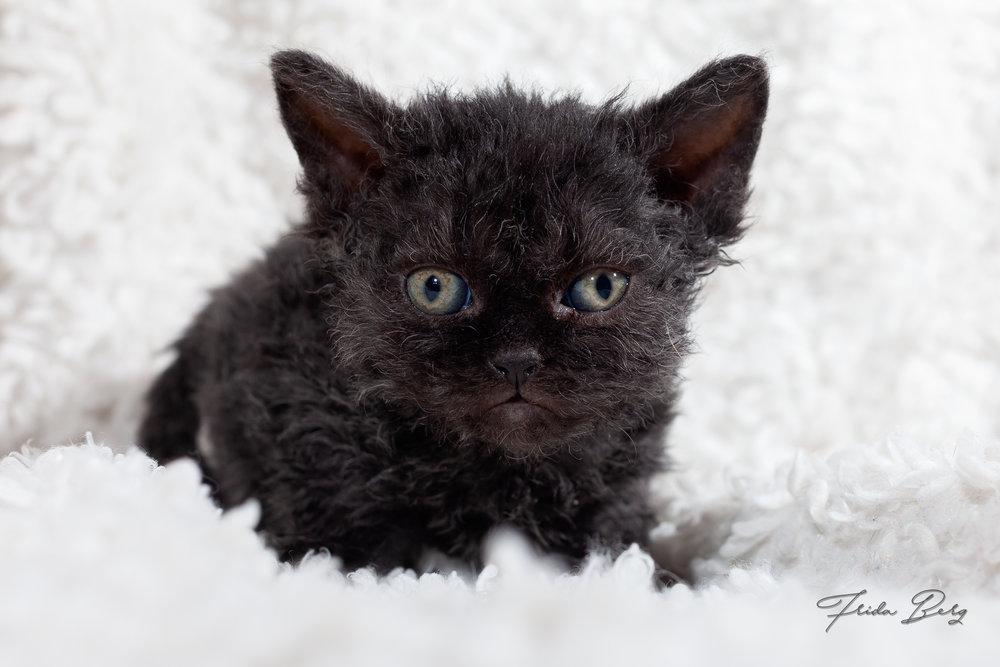 NO*CHIBINICHI CHESHIRE CAT, HETEROZYGOUS BLACK
