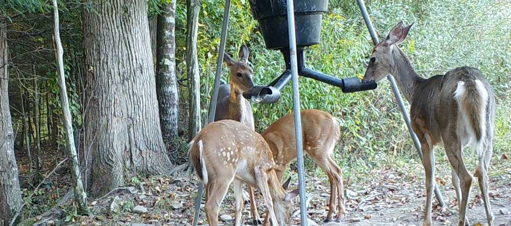 does_and_fawns_at_feeder1.jpg