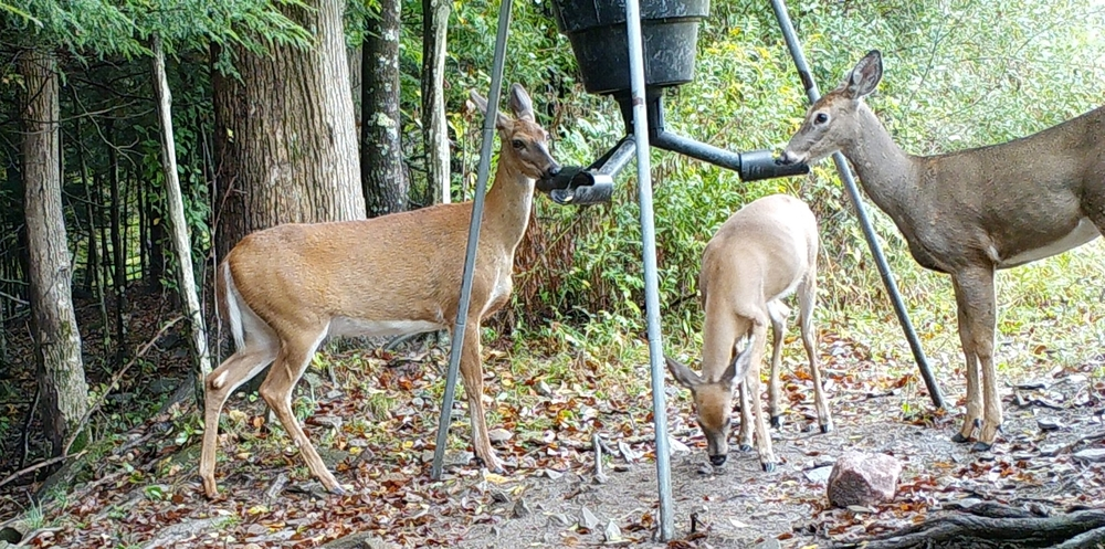 does_and_fawn_at_feeder1.jpg