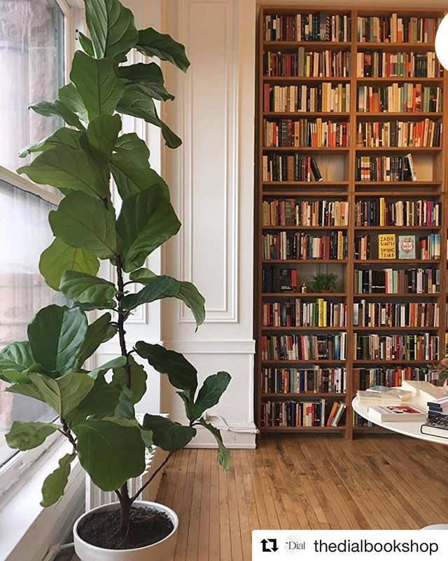 We sent our favorite Fiddle Leaf Fig, Frankie, to a new home at @thedialbookshop and she has so much room to grow! 🌿 go visit and support your local bookstore! ・・・ We just got the most generous and beautiful donation!!! Our new friends at @lightningstrike.chi and @ipgbook just gave us this stunning ten foot fiddle leaf fig tree!!! What a perfect fit! We cannot thank you two enough! ❤️