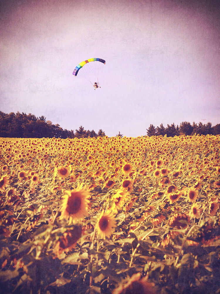 Monkton, Maryland - Jarrettsville Sunflowers   © Christy Hydeck -Don't tempt fate, karma or my lawyers by stealing.