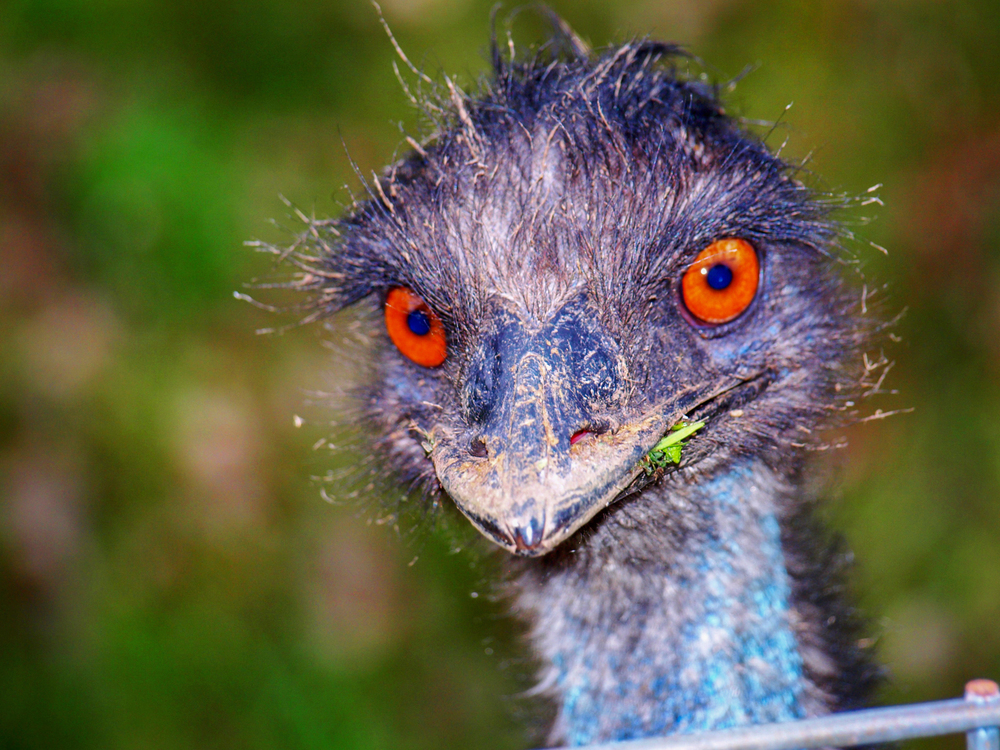 Just a random Emu in someone's yard | Nokesville, Virginia | © Christy Hydeck