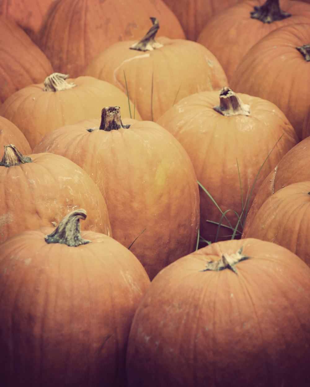 The pumpkin patch at Ganyard Hill Farm in Durham, North Carolina. | © Christy Hydeck
