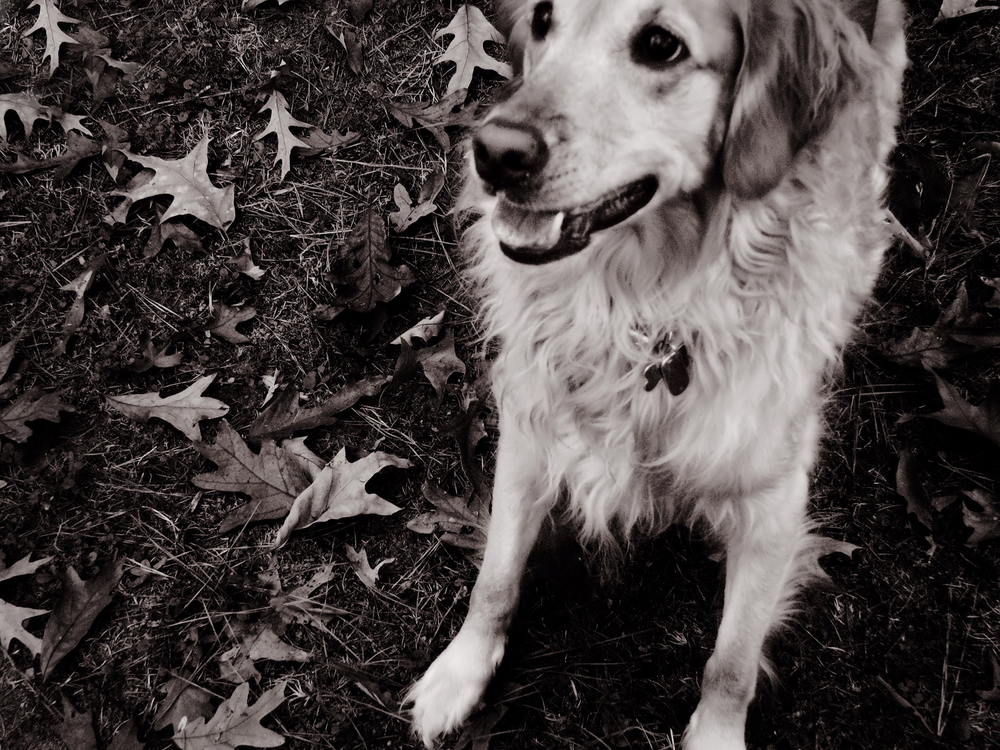 Morgan, my Golden Retriever | Raleigh, North Carolina | | © Christy Hydeck