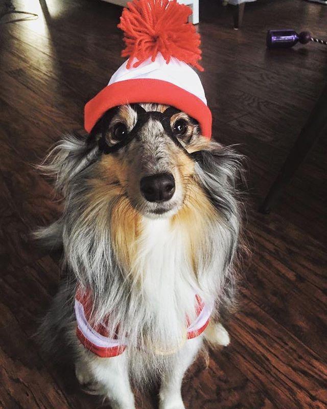 @coopertherescuedog Says Happy Halloween! #dogsofinstagram #dogsincostume #sheltie #halloween