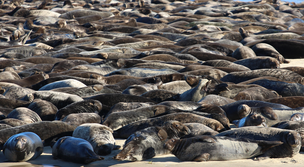 Seals for days.  The ones in the foreground are the best.