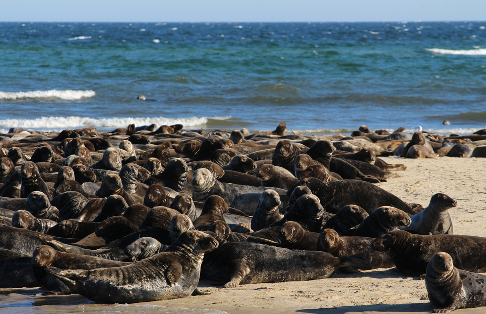When together like this the seals emit an extremely load collective groaning sound that is akin to something you'd hear in a Halloween Shop.  If they weren't so adorable it would be haunting.
