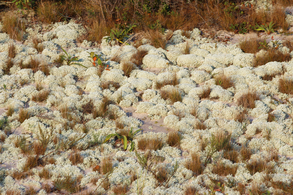 current obsession:  the aforementioned scrubby milky jade green dune carpet plant.
