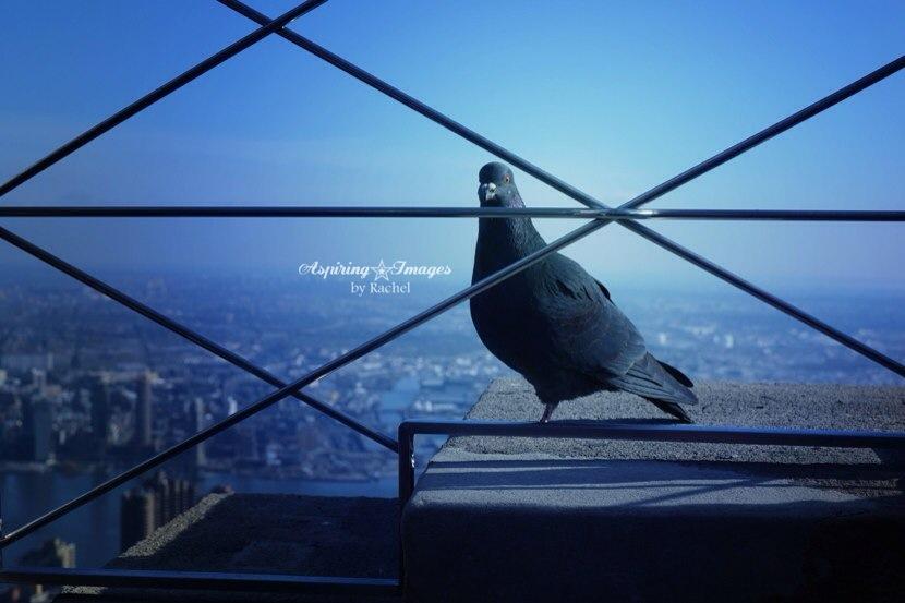 AspiringImagesbyRachel-NYC-Empire-State-Pigeon-wm