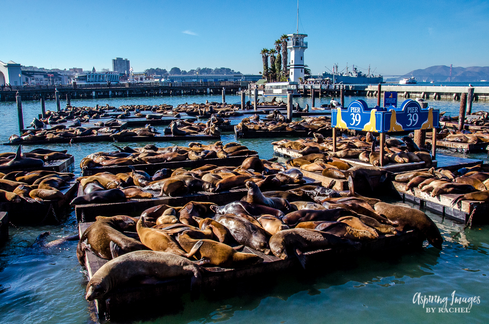These are Sea Lions! Pier 39 - San Francisco, California