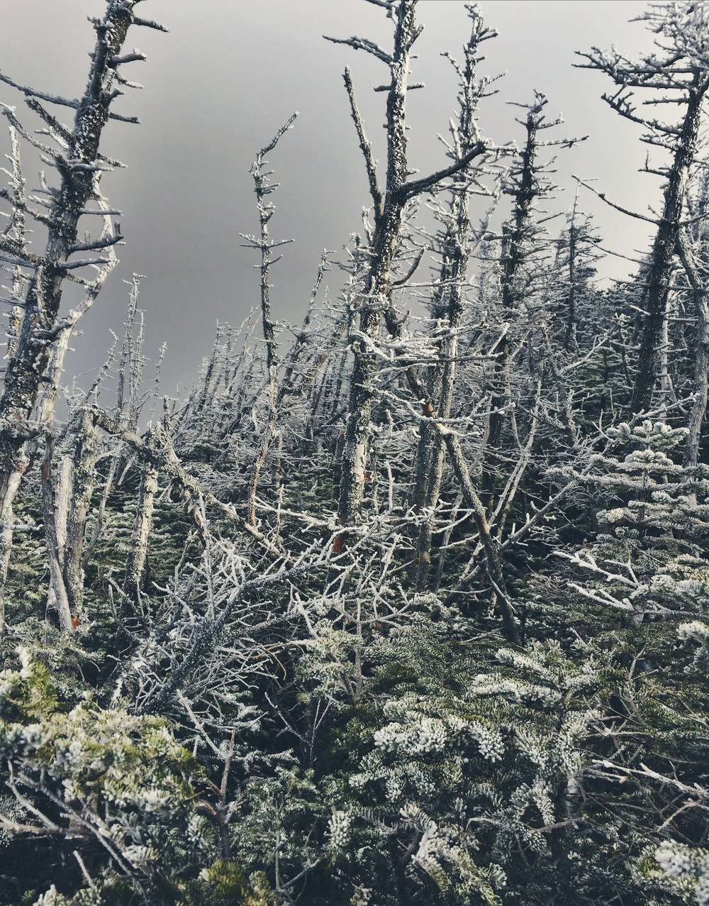 A frost-bitten forest on the way up Mt. Bond.