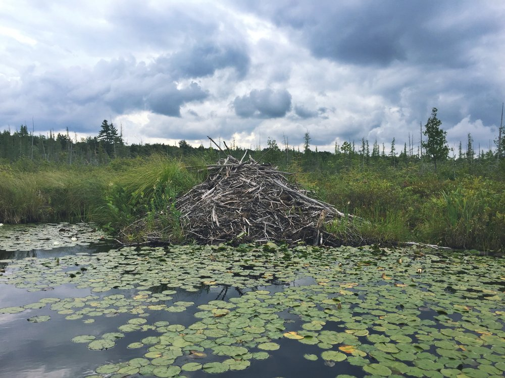 Beaver dams for days on Browns Tract Inlet