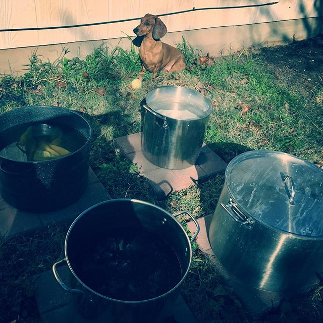 I'm having a pretty productive day so far. 4 pots going at once. Olive approves.  #naturaldyeing #plantdye