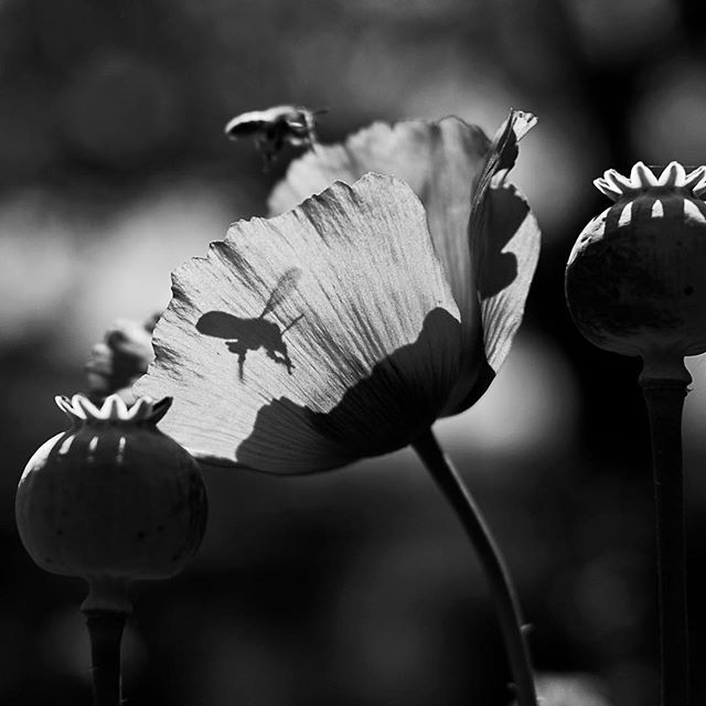 """Even a blind squirrel finds a nut."" I had just finished up the Ozgo family session and was enamored with the Botanical Garden's poppies for about 30 mins by the time I took this. Patience, so much patience. The little bee just flew in at the right moment. Have a wonderful Monday, Lovely. #carlirene #blackandwhite #ilovepoppies #fujifilm #fujifim_xseries"