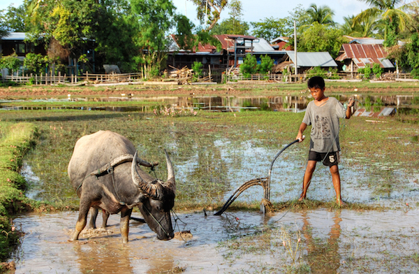 Image credit: Wikipedia: Water Buffalo