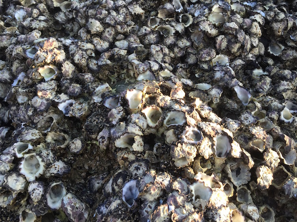 Rock oysters grow on the shore boulders