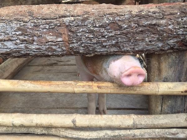 eatdrinklaos-pig-farm-champasak2