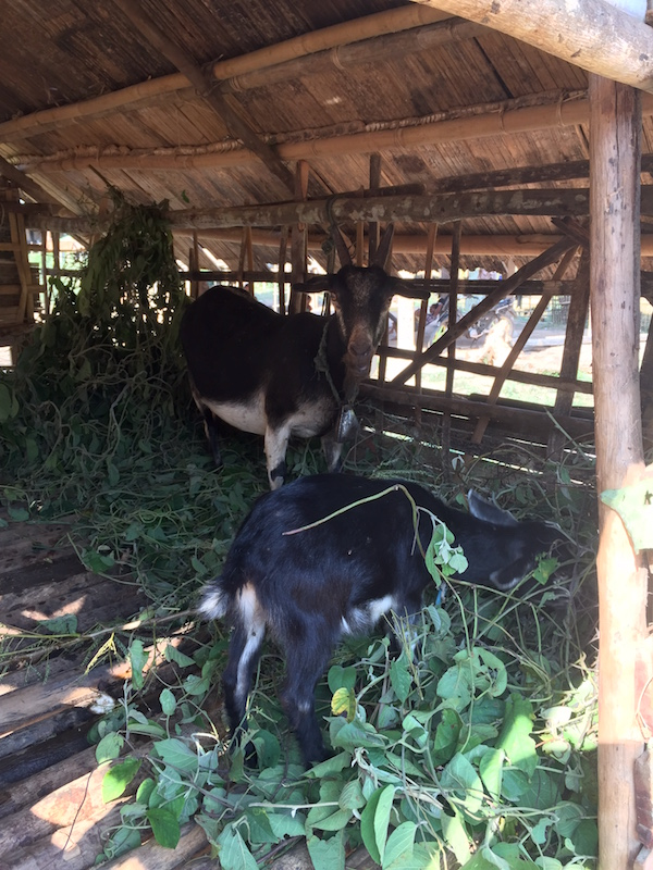 eatdrinklaos-goat-farming-feeding