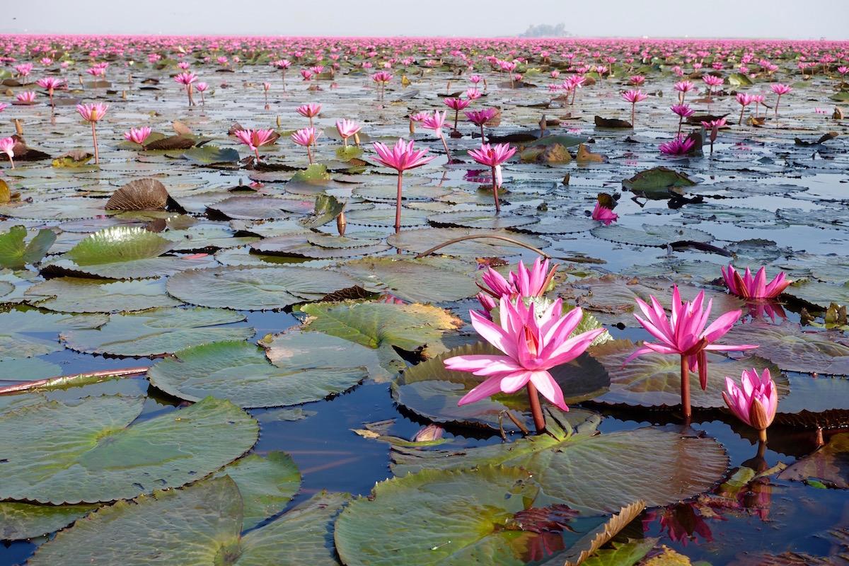 Thailand red lotus lake eat drink laos thailand red lotus lake izmirmasajfo