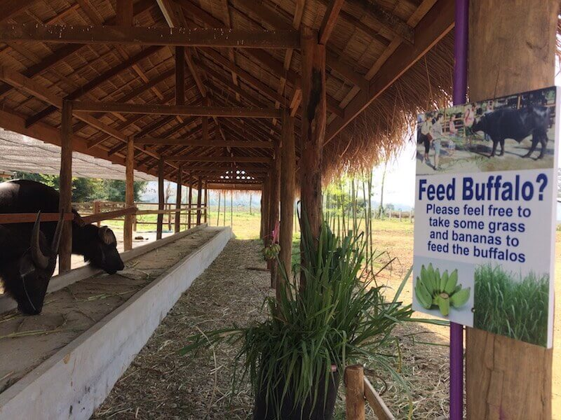 eatdrinklaos-luang-prabang-buffalo-dairy-feed-buffalo
