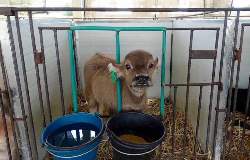 eatdrinklaos-luang-prabang-buffalo-dairy-calf3
