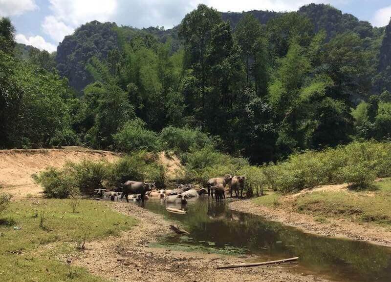eatdrinklaos-travel-konglor-caves-buffaloes