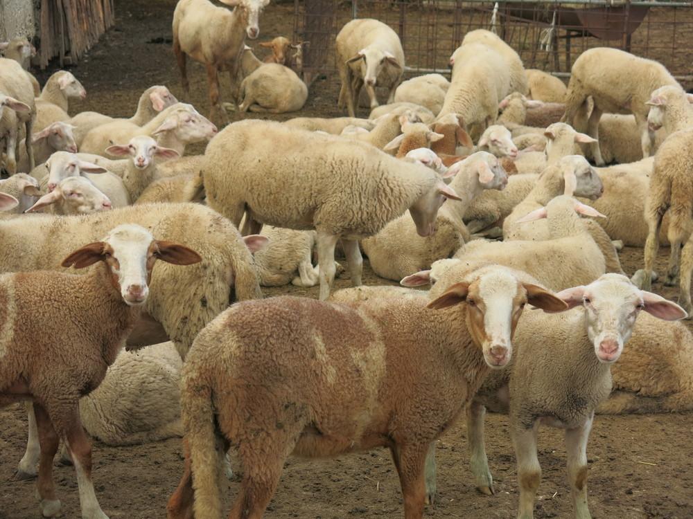 pecore1.jpg
