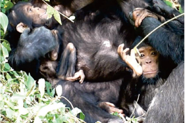 Photo credit: The disabled female chimp XT11 (on the left) next to her healthy brother (on the right). Matsumoto
