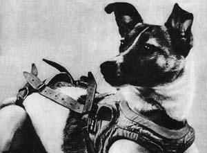 Laika, wearing her super sciency space harness.