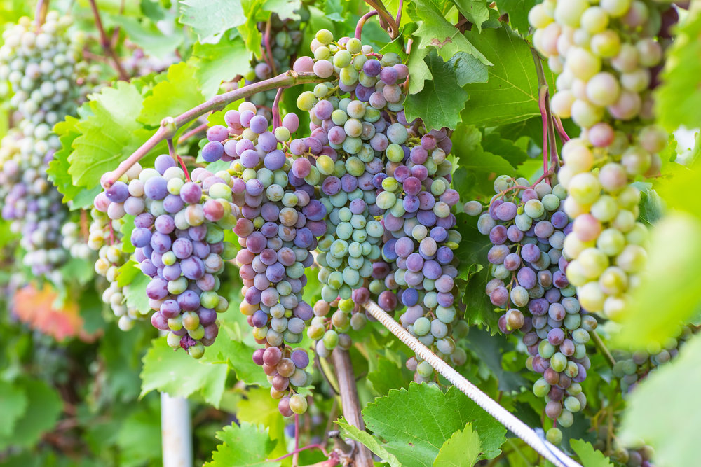 bigstock-Bunch-of-grapes-with-green-vin-96153110.jpg
