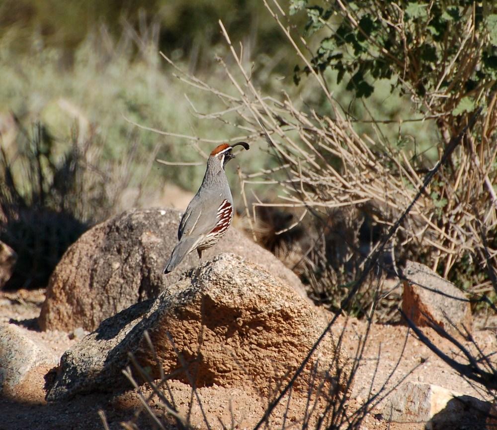 Gambel's Quail at a reserve in Phoenix