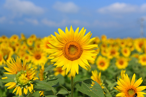 sunflowers.jpg