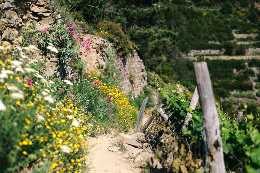 hike from Corniglia to Volastra through Vineyards