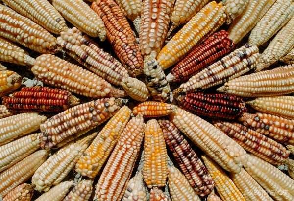 Landraces varieties of Mexican maize, Greenpeace / Roberto Lopez