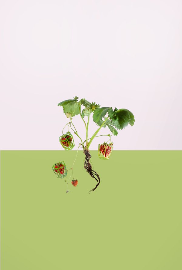 Ready-packed strawberries, United States, California, 2050. Crop Constructs by Mariah Wright. Image by Juuke Schoorl.