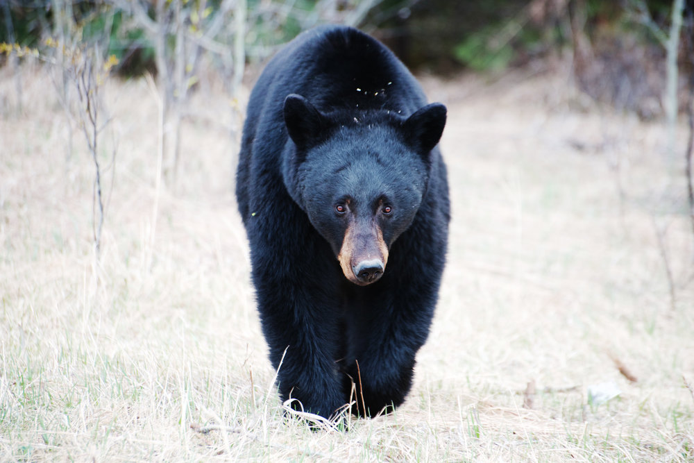 Black Bear in British Columbia Part 2.jpg
