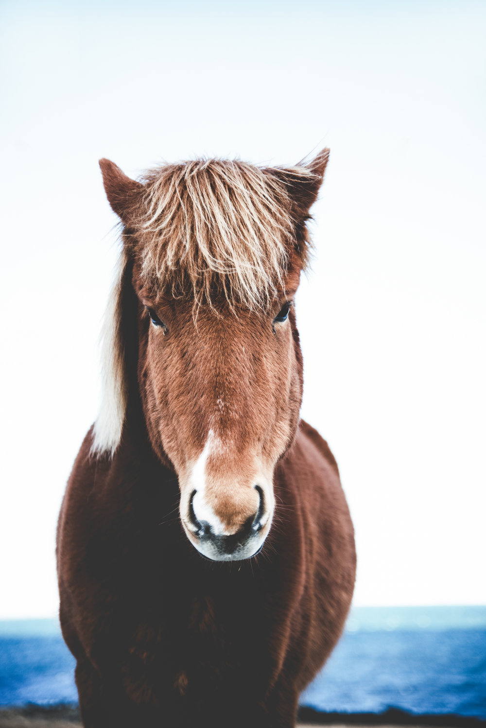 Icelandic Horse Portrait in the West Fjords in Iceland.jpg
